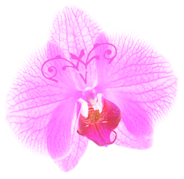 Orchidee Vera De Brauwer